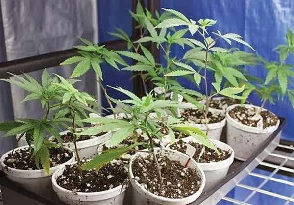 رواج کشت ماریجوانا در گلدانهای خانگی