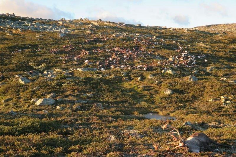 مرگ ۳۰۰ گوزن دراثر برخورد صاعقه در نروژ