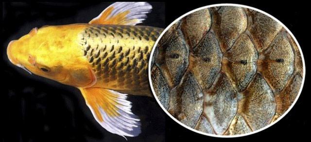 تولید برق از پولک ماهی