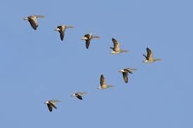 پرندگان مهاجر در بهار سرعت بیشتری دارند