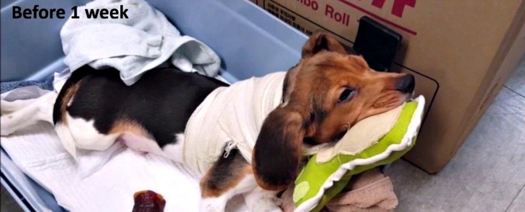 اجرای اولین پیوند موفقیتآمیز سر روی یک سگ