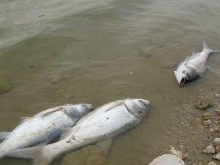 تلف شدن صدها ماهی در دریاچه سد سراب