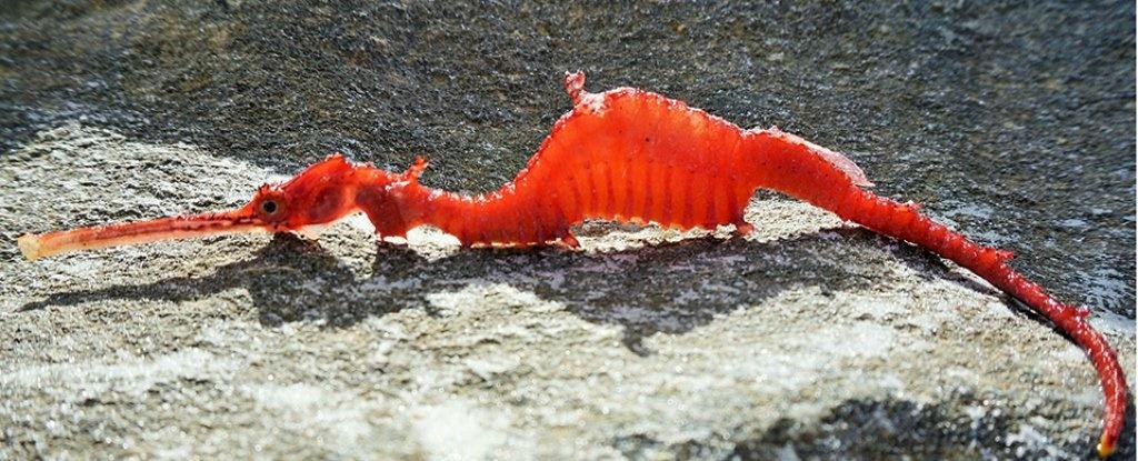 اولین تصویر از بچهاژدهای سرخ دریایی