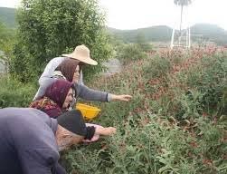 شناسایی حدود ۸۰۰ گونه گیاه دارویی در ایران