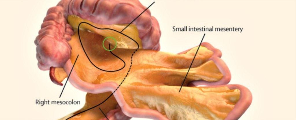 ثبت رسمی اندامی جدید در بدن انسان