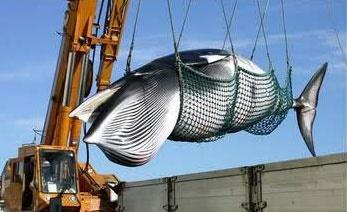 به رغم اعتراضات جهانی ژاپن ۱۷۷ نهنگ را شکار کرد