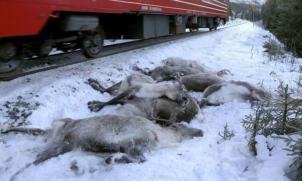 تلف شدن ۱۰۰ گوزن شمالی در حوادث ریلی نروژ
