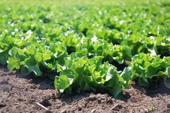 نتایج یک تحقیق | پیشگیری از زوال عقلی با مصرف سبزیجات برگدار