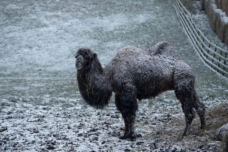 عکس روز: شتری در میان برف