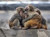 عکس روز: میمونها زیر برف
