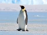 کشف استخوانهای پنگوئنی به بزرگی انسان