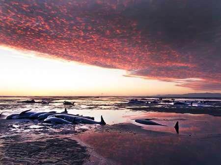 مرگ دلخراش صدها نهنگ در ساحل نیوزیلند