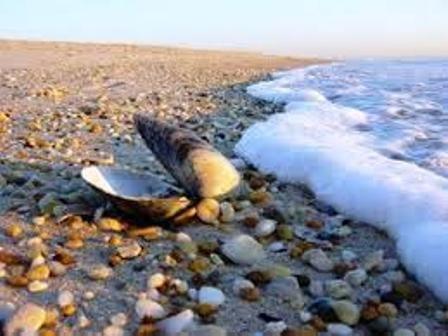 بررسی علت تلف شدن صدفها در بوشهر