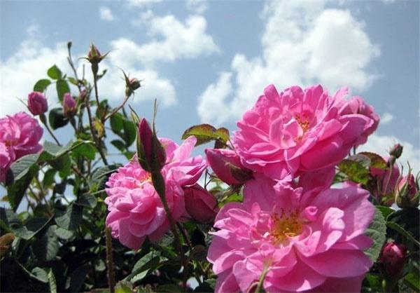 برای کاهش استرس «گل سرخ و یاس» استشمام کنید