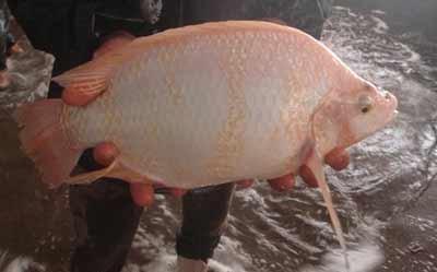 پرورش ماهی تیلاپیا؛ تهدید یا فرصت؟