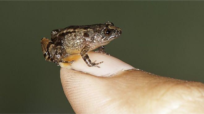 ببینید: از کوچکترین قورباغههای جهان
