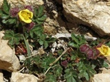 گونه جدیدی از گل سرخ در ایران کشف شد