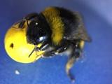 ببینید: وقتی زنبورها فوتبال بازی میکنند