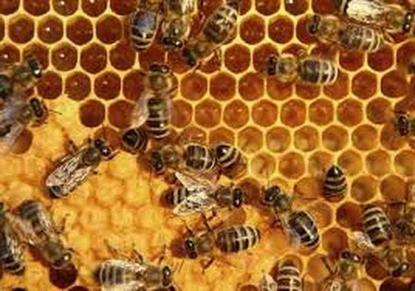 عوامل ویروسی کاهش جمعیت زنبور عسل در کلونیها شناسایی شد