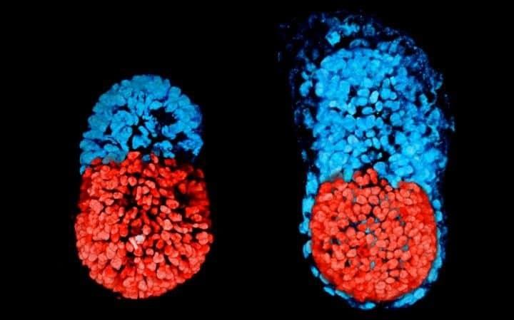 پژوهشگران رویان مصنوعی موش خلق میکنند
