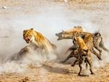 ویدئو | تلاش بیحاصل شیرها برای شکار اسب آبی