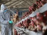 گزارش موارد بیشتر مرگ ناشی از آنفلوآنزای پرندگان در چین