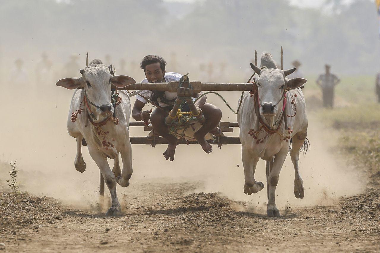 عکس روز: ارابهرانی با گاو