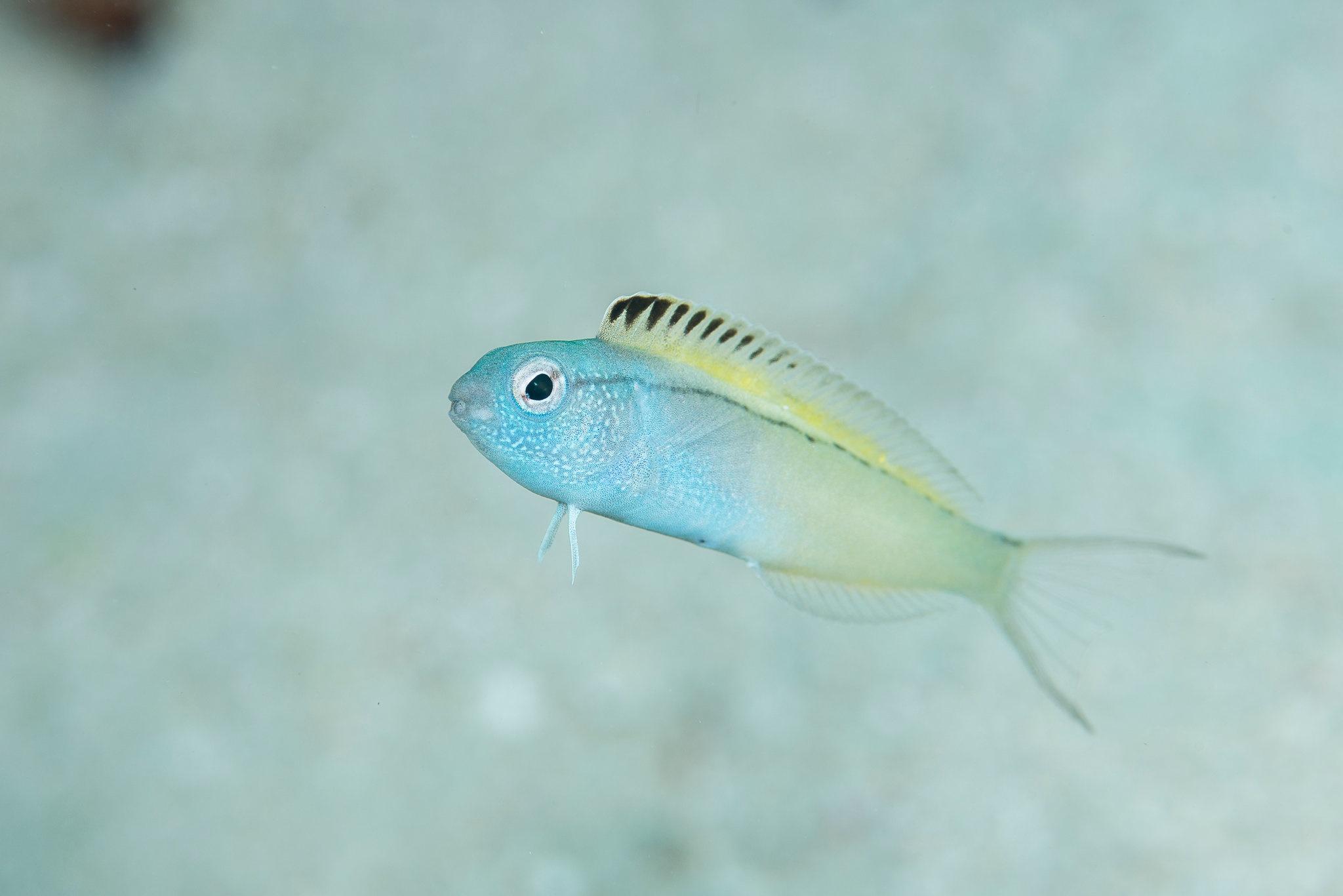نیش این ماهی اثر هروئینی دارد