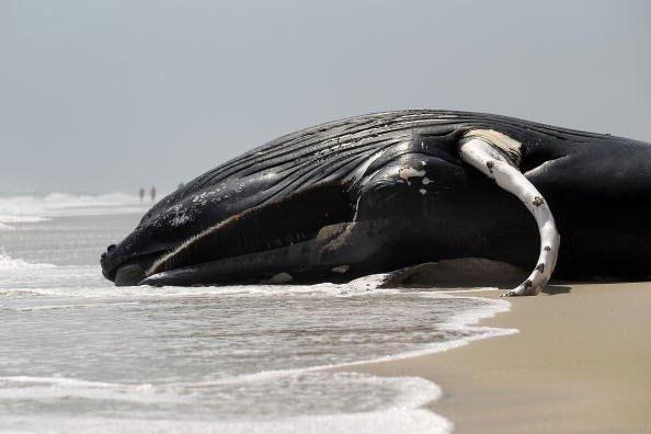 بررسی علت تلف شدن نهنگهای گوژپشت در سواحل آتلانتیک