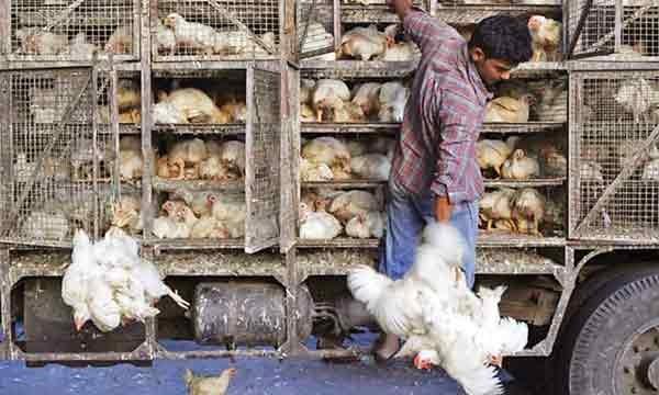 آنفلوآنزای پرندگان کماکان قربانی میگیرد