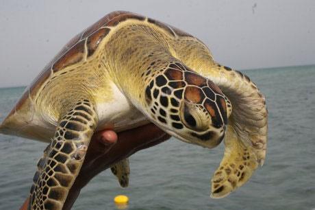 لاکپشتهای ایران در معرض تهدید