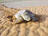 لاکپشتهای ایران در معرض تهدید هستند