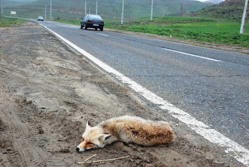 دنیای من و روباه و راسو