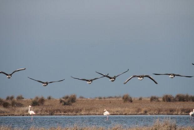 حضور پرندگان تابستانگذران در میانکاله