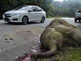 خشم مردم مالزی از کشته شدن یک بچهفیل در بزرگراه