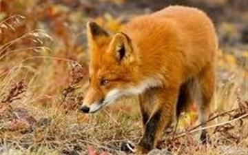 فواید روباهها برای تهران