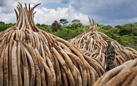 کشف محموله ۳ تنی عاج فیل در ویتنام