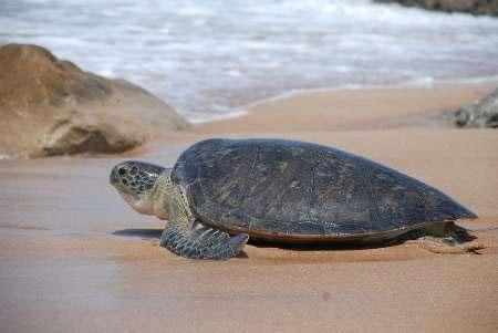 تخمگذاری لاکپشتها در سواحل مَکُّران آغاز شد
