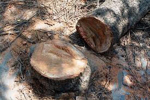 اتحادیه اروپا هلند را از قطع درختان در جنگل کهنسالِ این قاره منع کرد