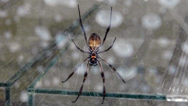 استفاده از تار عنکبوت برای ترمیم کردن عصبهای آسیبدیده