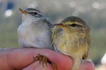 تغییر ژن مهاجرت پرندگان بر اساس جغرافیا