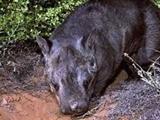 تولد نوعی حیوان کمیاب در حال انقراض در استرالیا