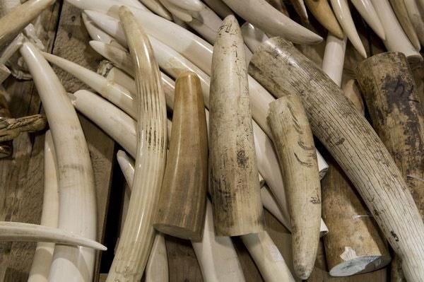 فروش آنلاین حجم زیادی از عاج فیل در ژاپن
