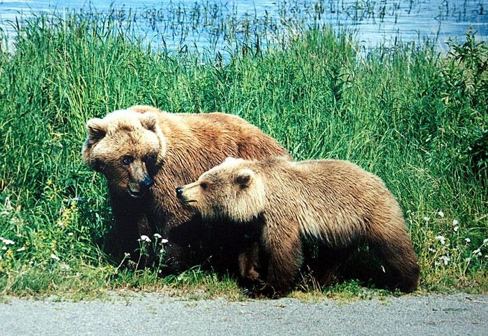 خرسهایی که گیاهخوار شدند