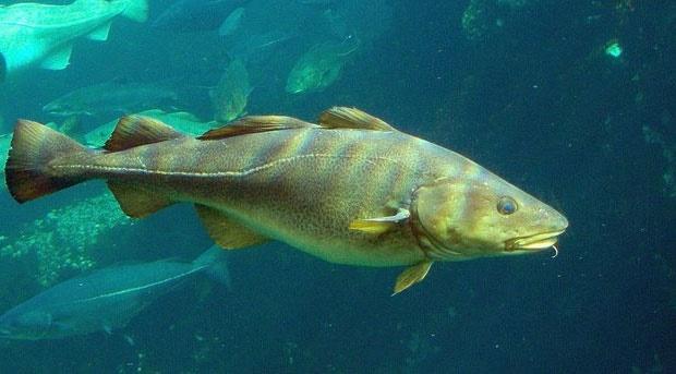 ماهیها در جریان تغییرات اقلیمی کوچک میشوند