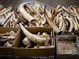 انگلیس بزرگترین صادرکننده عاج فیل در جهان