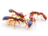 اصلاح ژنتیکی مورچهها!