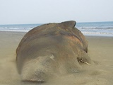 نهنگ ۱۰ تنی در شیبکوه به گل نشست
