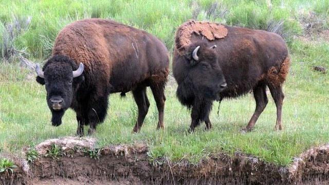 آریزونا برای شکار بوفالوها فراخوان داد