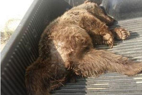 عامل شکار خرس قهوهای به تحمل دو سال حبس محکوم شد